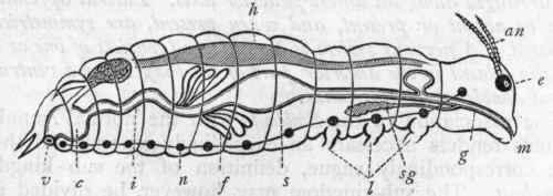 I. Scolecida