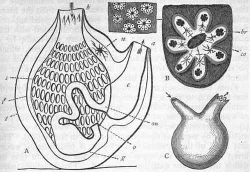 Urochordata Diagram Opinions on Tunicate