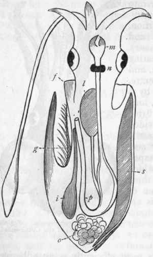 chapter xlviil cephalopoda. Black Bedroom Furniture Sets. Home Design Ideas