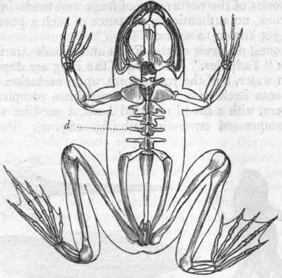 vertebral column frog vertebral column. Black Bedroom Furniture Sets. Home Design Ideas