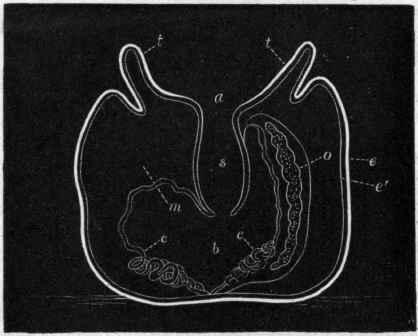 respiratory for coelenterata