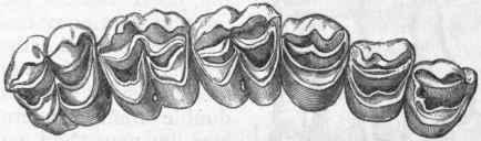 Fig-399-Grinding-surface-of-the-molar-and-praemolar-teet.jpg