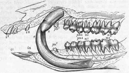 Fig-403-Dentition-of-the-Boar-Sus-scrofa-The-tooth-ma.jpg