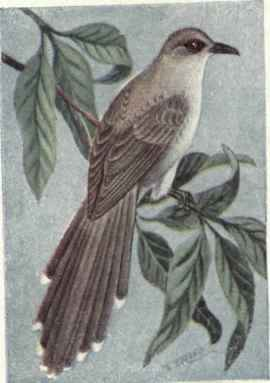 388 Black Billed Cuckoo Coccyzus Erythrophthalmus