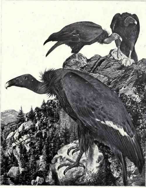 California-Vulture.jpg