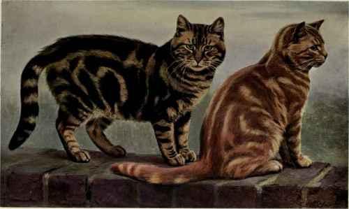 short hair tabby kitten. Tabby Short Haired Cats