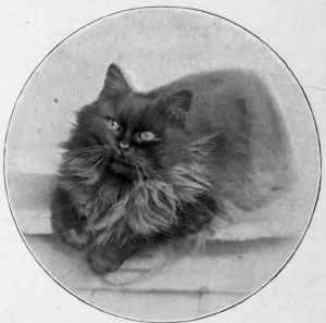 Mrs. A. M. Stead's Smoke Persian Ch. Ranji.
