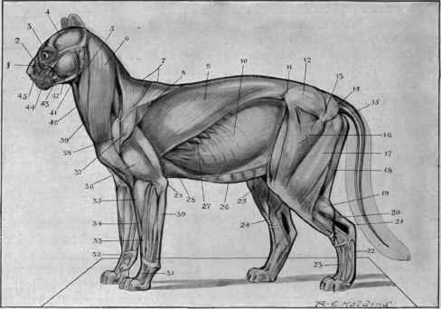 Lion Muscle Diagram - Auto Electrical Wiring Diagram •