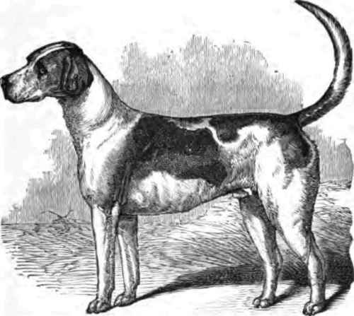 Hunting Hound Drawing