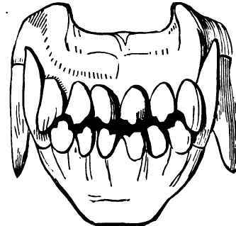 Teeth Of The Dog At Various Ages