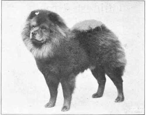 Black Chow Dog