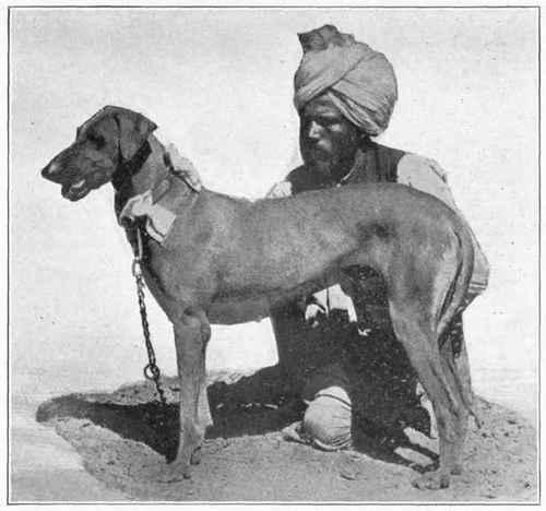 Экзотические, редкие и дизайнерские породы и интересные метисы - Страница 9 Rampur-Greyhound
