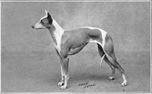 Italian English Animsld: Whippet Dogs And Whippet Racing