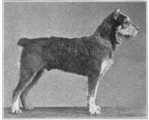 Wire Coated German Terrier Schnanzer Or Rattler