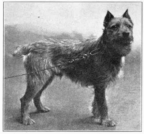 Wire Haired Dutch Terrier