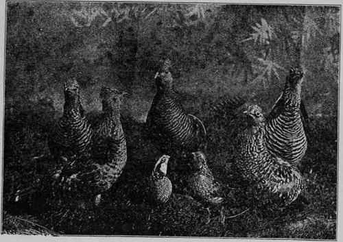 TUZAKLAR TUZAK ÇEŞİTLERİ GROUP-OF-GAME-BIRDS