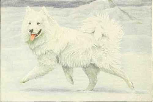 Siberian reindeer dog or samoyed siberian reindeer dog or samoyed voltagebd Image collections
