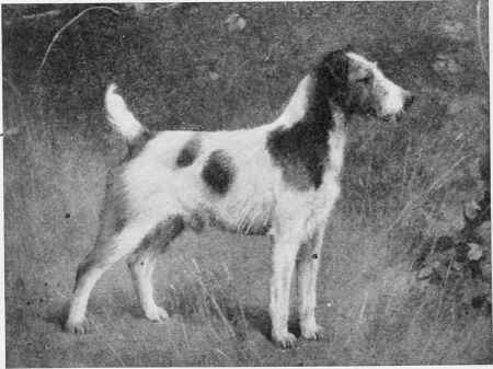 Photos of Fox Terriers, Fox Terriers. Old Champions, Scotch ...