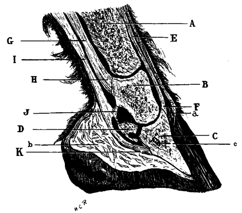 tendons of foot. Median Section Of Foot.