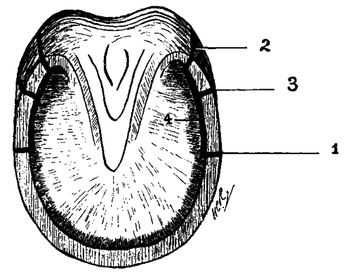 ossification of the lateral cartilages  side