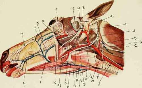 Anatomy Of Horse\'s Head