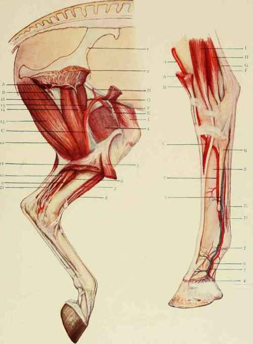 Equine Pelvic Limb Bones http://chestofbooks.com/animals/horses/Health-Disease-Treatment-1/Nerves-Arteries-And-Muscles-Of-The-Limbs-II.html