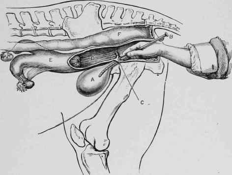 Barren mare blood in vulva