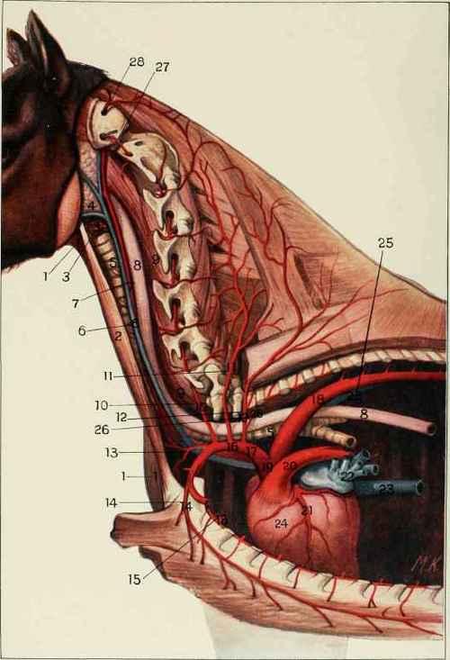 Anterior Aorta