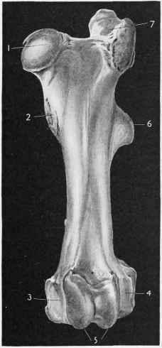 trochanter major femoris