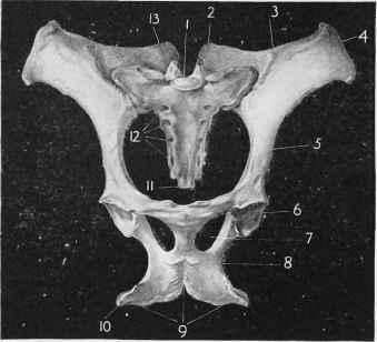 Equine Pelvic Limb Bones http://chestofbooks.com/animals/horses/Health-Disease-Treatment-2/The-Pelvis-Figs-294-295.html