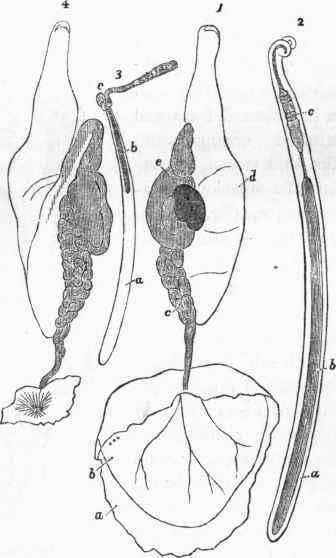 argonaut animal auto electrical wiring diagramcephalopoda cuvier part 16