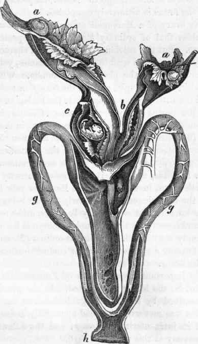 Mammalia. Part 30