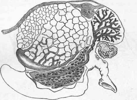 hydroxide vulvovaginal gland glandula from l genera were studied after
