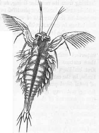 Crustacean larva