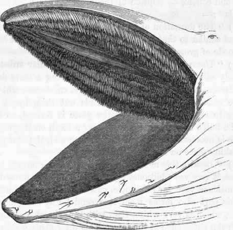 Whale mouth anatomy