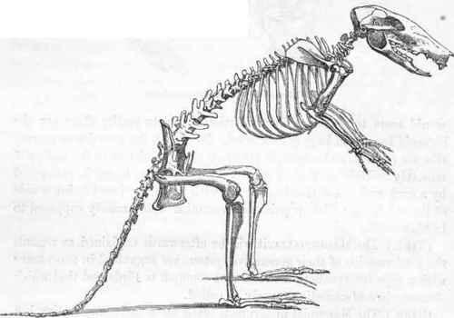 Patrick The Kangaroo Rat The Ossification Of Bones