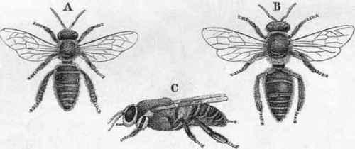 The Hive Bee  Apis mel...