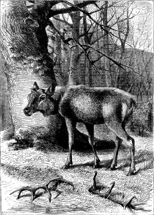 deer with horns removed