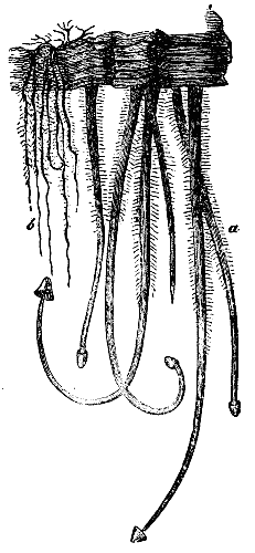 Pyrenomycetes