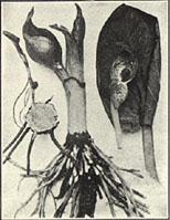 Skunkcabbage. Spathyema foetida (L.) Raf.