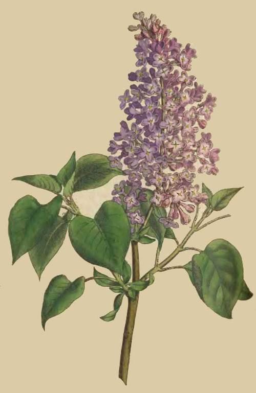 183 Syringa Vulgaris Common Lilac