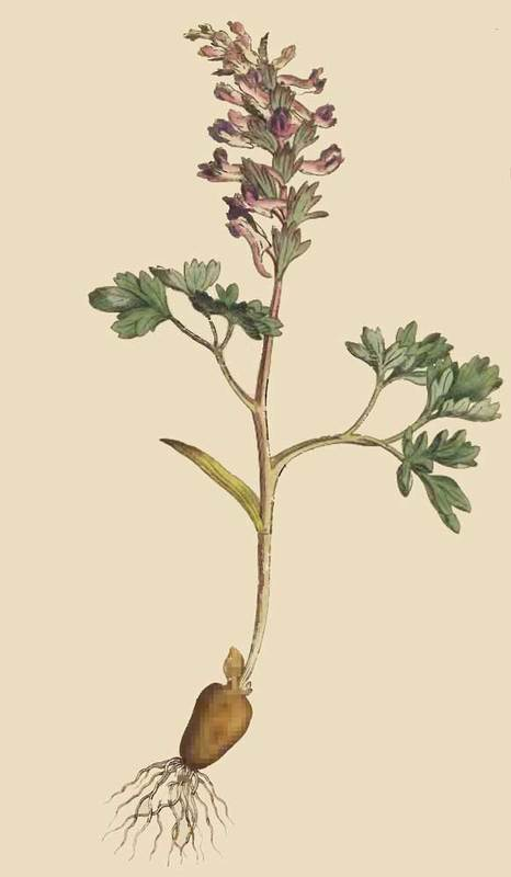 231. Fumaria Solida. Solid-Rooted Fumitory