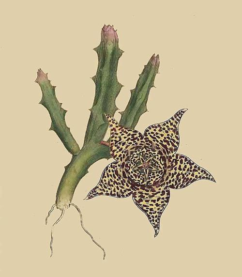 26 stapelia variegata variegated stapelia for Stapelia variegata