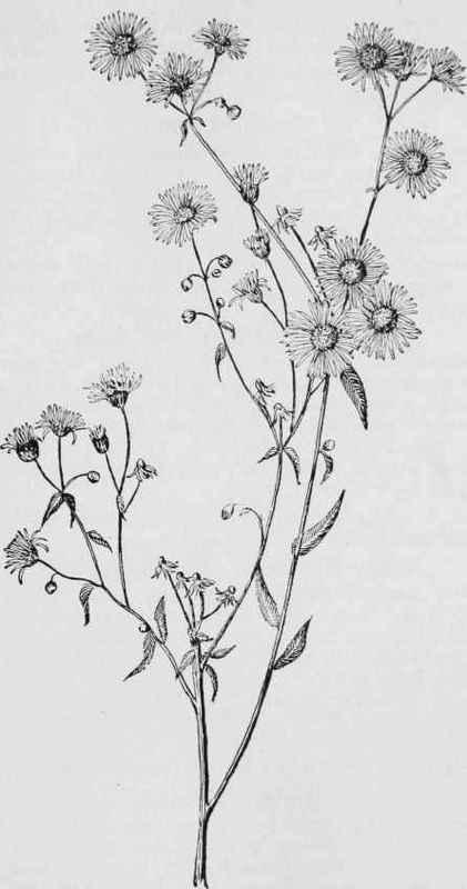 daisy fleabane  sweet scabious  erigeron annuus