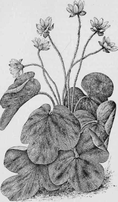 Liverleaf Hepatica. Hepatica triloba