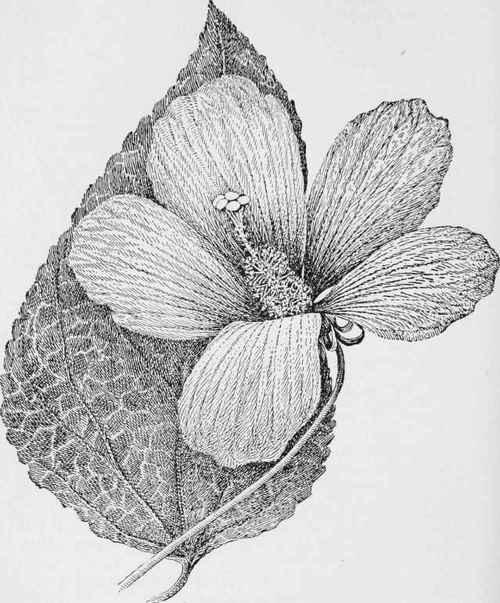 hibiscus clip art border jpg