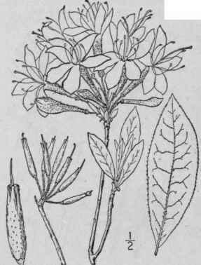 Links also 2 Azalea L Sp Pl 150 1753 in addition  on wild gardening in florida html