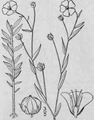 Linum usitatissimum l flax lint bells linseed 1017