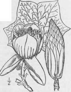 1 Liriodendron Tulipifera L Tulip Tree Lime Tree W 192