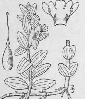 15. Hydrotrida Willd